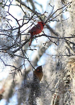 Cardinals In Mossy Tree Poster by Carol Groenen