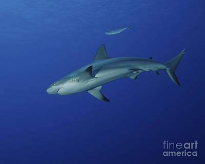 Caribbean Reef Shark, West Caicos Poster by Brent Barnes