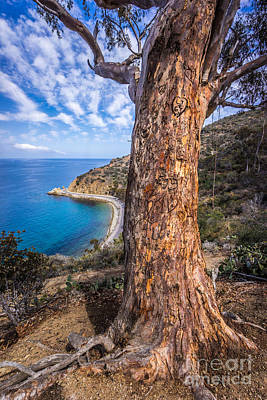 Catalina Island Lover's Cove Tree Poster by Paul Velgos