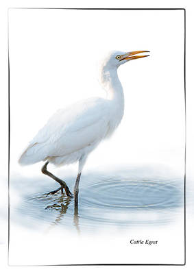 Cattle Egret On White Background Poster by Ronel Broderick