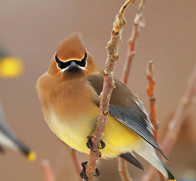 Cedar Wax Wing Poster by Carl Shaw