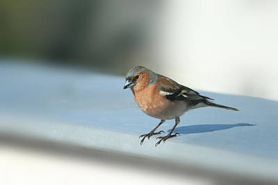 Chaffinch Poster by Heike Hultsch