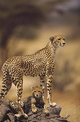 Cheetah Acinonyx Jubatus Mother With Poster by Gerry Ellis