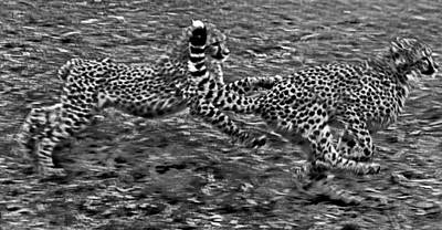 Cheetah Cabs Speeding  Poster by Miroslava Jurcik