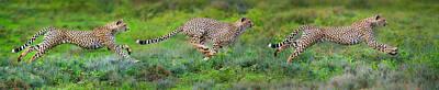 Cheetahs Acinonyx Jubatus Hunting Poster by Panoramic Images