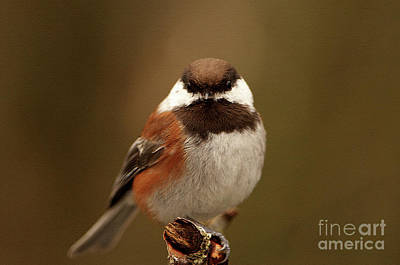Chestnut-backed Chickadee  Poster by Sharon Talson