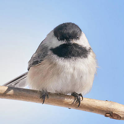 Birdwatching Poster featuring the photograph Chickadee At 5 Below by Jim Hughes