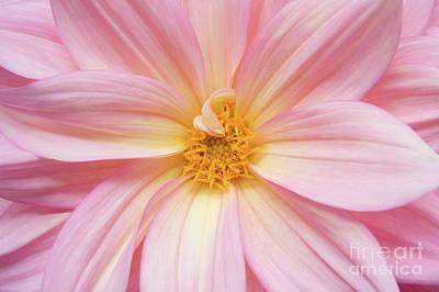 Chinese Chrysanthemum Flower Poster by Julia Hiebaum
