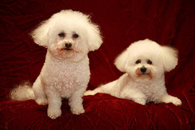 Chloe And Jolie The Bichon Frises Poster by Michael Ledray