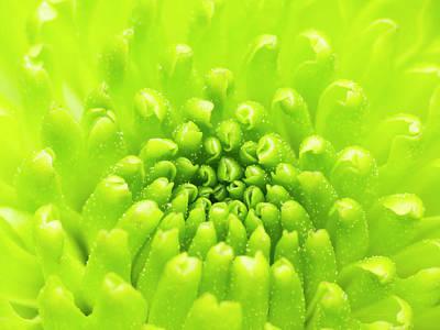 Chrysanthemum Macro Poster by Wim Lanclus
