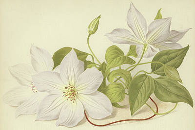Clematis Jackmanni Alba Poster by English School