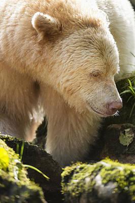 Close Up Of A Kermode Bear  Ursus Poster by Daisy Gilardini