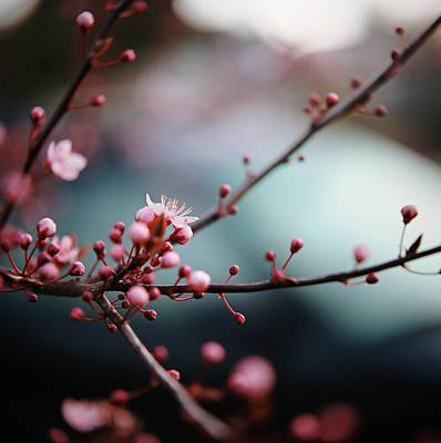 Close-up Of Plum Blossoms Poster by Danielle D. Hughson