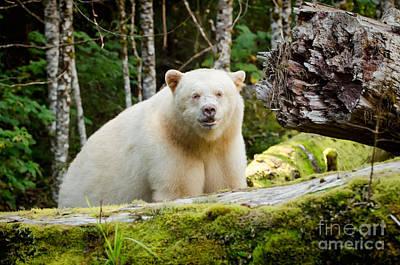 Close Up Spirit Bear Poster by Melody Watson
