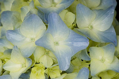 Close View Of Hydrangea Flower Poster by Todd Gipstein