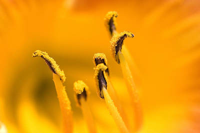 Close View Of The Stamen Of A Yellow Poster by Todd Gipstein