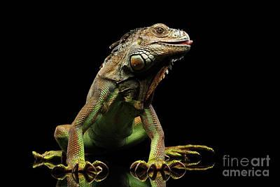 Closeup Green Iguana Isolated On Black Background Poster by Sergey Taran