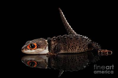 Closeup Red-eyed Crocodile Skink, Tribolonotus Gracilis, Isolated On Black Background Poster by Sergey Taran