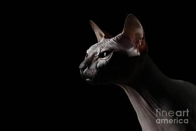 Closeup Sphynx Cat Looking Forward On Black Poster by Sergey Taran