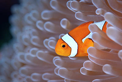 Clownfish In White Anemone Poster by Alastair Pollock Photography