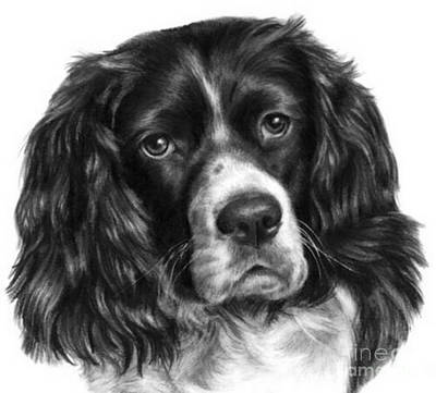 Cocker Spaniel Poster by Blackwater Studio