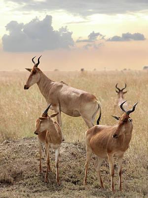 Coke's Hartebeest Antelopes In Tanzania Poster by Gill Billington