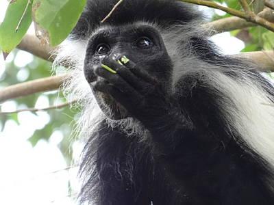 Colobus Monkey Eating Leaves In A Tree 2 Poster by Exploramum Exploramum