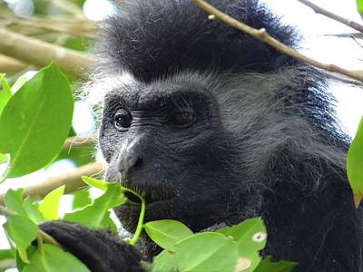 Colobus Monkey Eating Leaves In A Tree Close Up Poster by Exploramum Exploramum