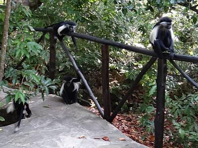 Colobus Monkeys At Sands Chale Island Poster by Exploramum Exploramum