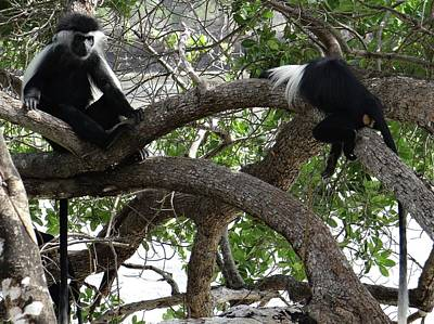 Colobus Monkeys Sitting In A Tree Poster by Exploramum Exploramum