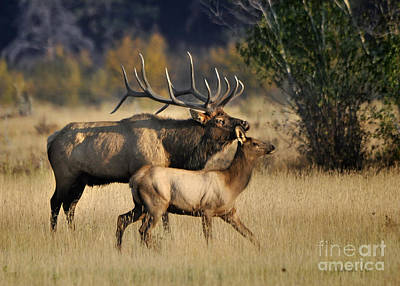 Colorado Elk  Poster by Nava Thompson