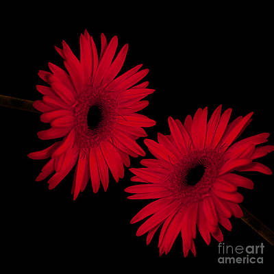 Colorful Gerbera Daisies Poster by Beverly Guilliams