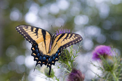 Colorful Tiger Swallowtail Butterfly Poster by Lori Coleman