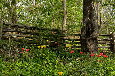 Colorful Tulips And A Rustic Fence - Enjoying The Beauty Of Spring Poster by Georgia Mizuleva