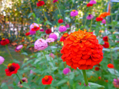 Colorful Zinnia Flowers 2 Poster by Lanjee Chee
