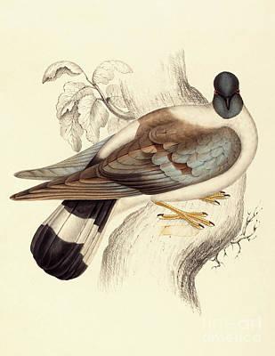 Columba Leuconota, Snow Pigeon Poster by Elizabeth Gould