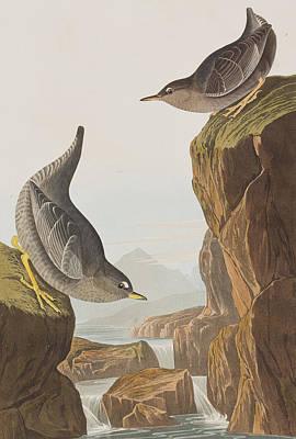 Columbian Water Ouzel Or Arctic Water Ouzel Poster by John James Audubon