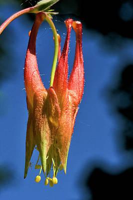 Columbine Flower 3 Poster by Steven Ralser