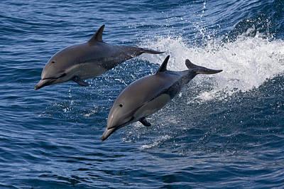 Common Dolphin Pair Jumping Baja Poster by Suzi Eszterhas