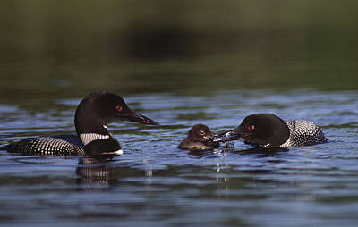 Common Loons And Chick Poster by Mark Wallner