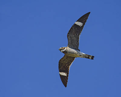 Common Nighthawk Poster by Tony Beck