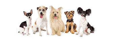 Common Small Breed Dogs Poster by Susan  Schmitz