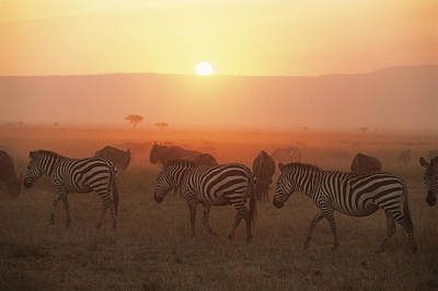 Common Zebras On The Move At Sunset And Wildebees Poster by James Warwick