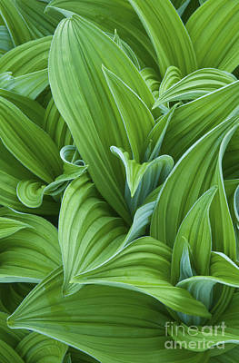 Corn Lily Leaves Poster by Greg Vaughn - Printscapes