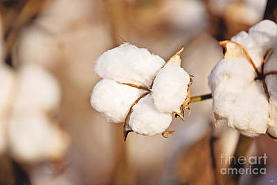 Cotton Plant Poster by Scott Pellegrin