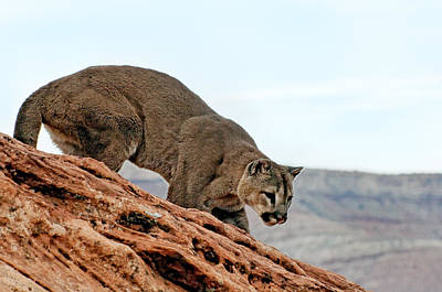 Cougar Prowling Poster by Melody Watson