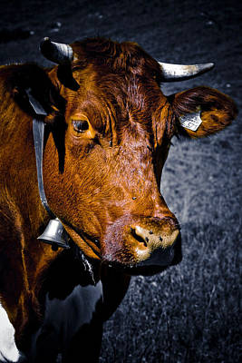 Cow Portrait Poster by Frank Tschakert