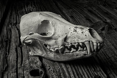 Fangs Poster featuring the photograph Coyote Skull In Black And White by Garry Gay