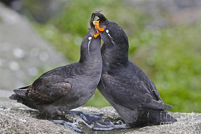 Crested Auklet Pair Poster by Desmond Dugan/FLPA