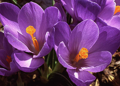 Crocus Poster by Jim Nelson